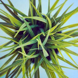 Lemon Grass - Pedacito de Campo